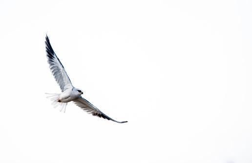 kite flying「Black-shouldered kite in flight, South Africa」:スマホ壁紙(13)