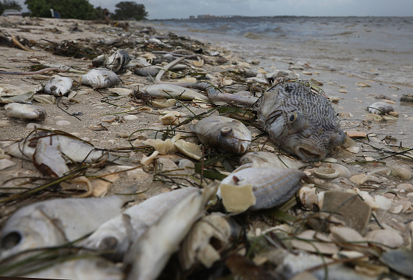 フロリダ州「Toxic Red Tide On Florida's Southwest Coast Killing Hundreds Of Turtles And Fish」:写真・画像(14)[壁紙.com]