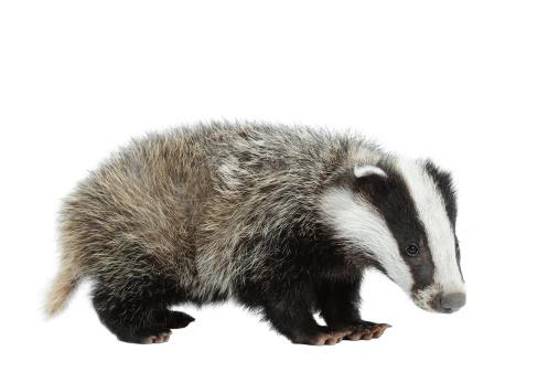 Baby animal「Eurasian Badger」:スマホ壁紙(5)