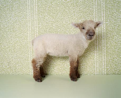 ふわふわ「Lamb Standing Indoors, and Floral Wallpaper」:スマホ壁紙(6)