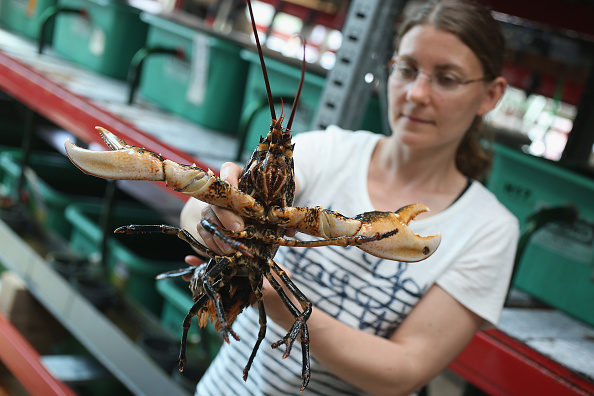 Crustacean「Scientists Release Lobsters To Repopulate Former Habitat」:写真・画像(19)[壁紙.com]