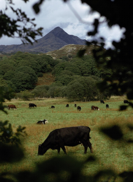 Travel Destinations「Snowdonia Cows」:写真・画像(11)[壁紙.com]