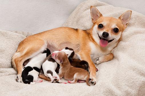 Chihuahua - Dog「Dog birth」:スマホ壁紙(14)