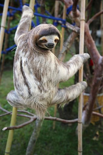 Three-toed Sloth「Happy Male Sloth」:スマホ壁紙(11)