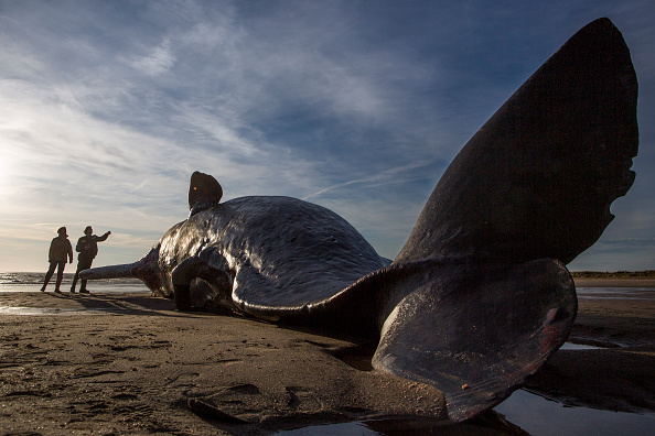 Environmental Issues「Sperm Whales Beached In Skegness」:写真・画像(4)[壁紙.com]