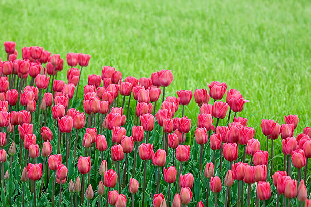 bed reds tulips in the garden:スマホ壁紙(壁紙.com)