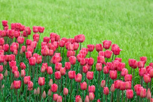 キューケンホフ公園「bed reds tulips in the garden」:スマホ壁紙(9)