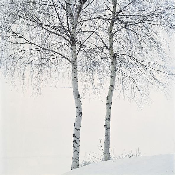 梅の花「Birch trees, Lower Austria/Waldviertel, Around 2004」:写真・画像(4)[壁紙.com]