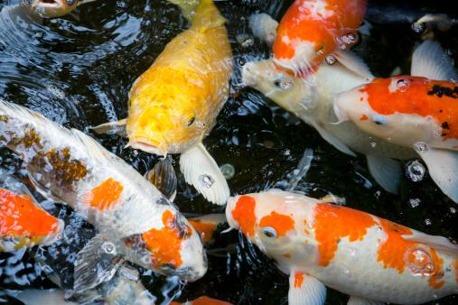 Carp「Koi fish, close-up, overhead view」:スマホ壁紙(18)