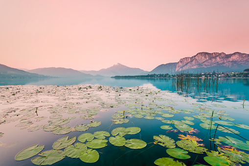 Water Lily「Austria, Lake Mondsee, Water Lilies in the morning」:スマホ壁紙(0)