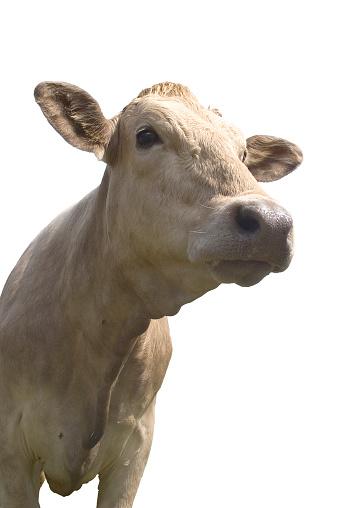 Cow「Friendly looking cow」:スマホ壁紙(2)
