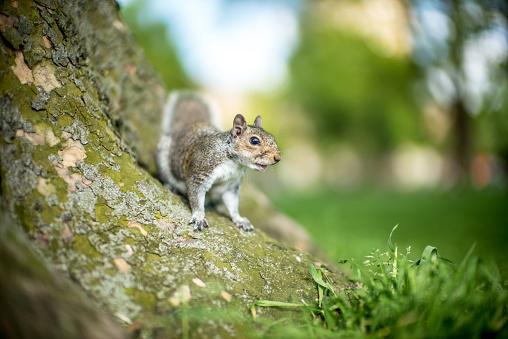 Gray Squirrel「A friendly London Grey Squirrel」:スマホ壁紙(0)