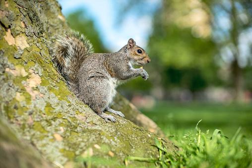 リス「A friendly London Grey Squirrel」:スマホ壁紙(13)