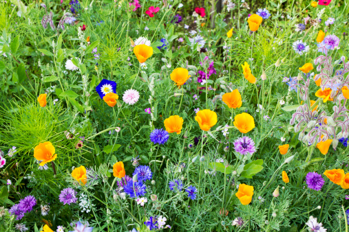 Orange Color「Germany, Rhineland-Palatinate, Andernach, California poppy (Eschscholzia californica), Cornflower (Centaurea cyanus), Borage (Borago officinalis), Convolvulus tricolor, Red flax (Linum grandiflorum)」:スマホ壁紙(14)