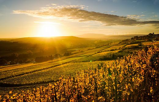 Rhineland-Palatinate「Germany, Rhineland-Palatinate, vineyard in autumn at sunset」:スマホ壁紙(15)