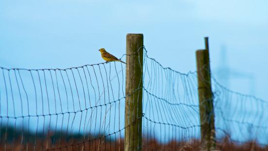Bunting「Germany, Rhineland Palatinate, Yellowhammer perching on wire fence」:スマホ壁紙(19)