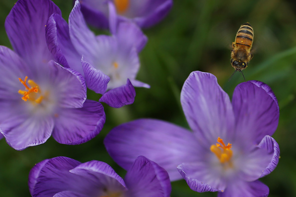 Pollination「Spring Comes To The UK Capital」:写真・画像(4)[壁紙.com]