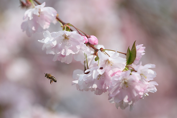 Blossom「Bees Pollinate Blossom In Central London」:写真・画像(1)[壁紙.com]