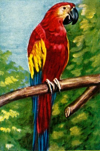 Beak「Scarlet Macaw」:写真・画像(6)[壁紙.com]