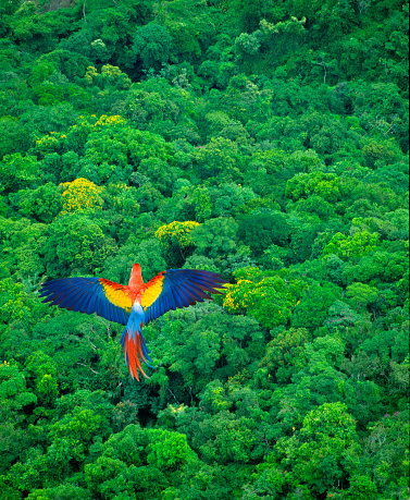 Animal Themes「Scarlet Macaw Flying Over Rainforest」:スマホ壁紙(0)