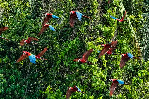 Bird「Scarlet Macaw」:スマホ壁紙(4)