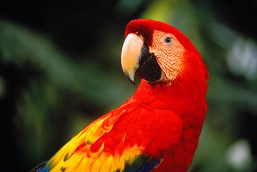 Central America「Scarlet macaw (Ara macao), Belize」:スマホ壁紙(16)