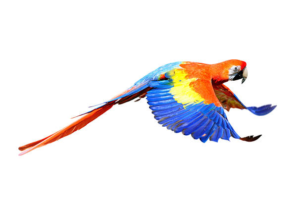 A scarlet macaw flapping its wings in flight:スマホ壁紙(壁紙.com)
