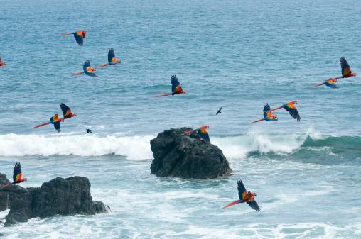 Flock Of Birds「Scarlet Macaw (Ara macao) flying along coast, Pacific Coast, Costa Rica」:スマホ壁紙(5)