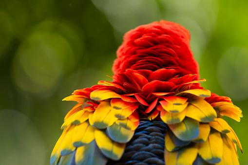 Grooming - Animal Behavior「Scarlet Macaw, Costa Rica」:スマホ壁紙(11)