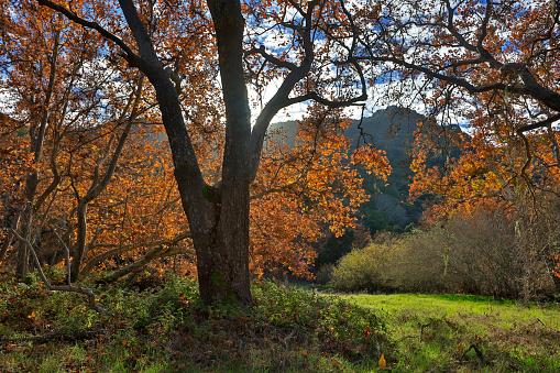 セイヨウカジカエデ「SYCAMORE TREES in autumn foilage - CARMEL VALLEY, CALIFORNIA」:スマホ壁紙(7)