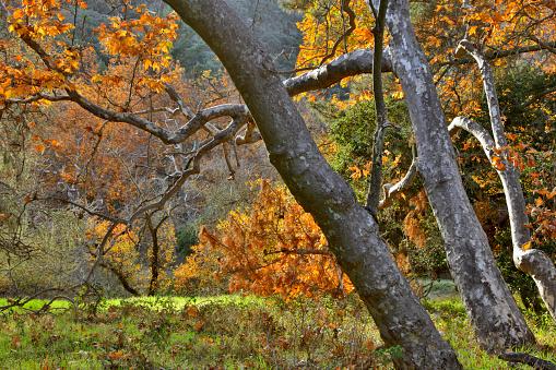 セイヨウカジカエデ「SYCAMORE TREES in autumn foilage - CARMEL VALLEY, CALIFORNIA」:スマホ壁紙(9)