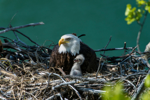 Bird of Prey「Nesting bald eagle with baby」:スマホ壁紙(19)