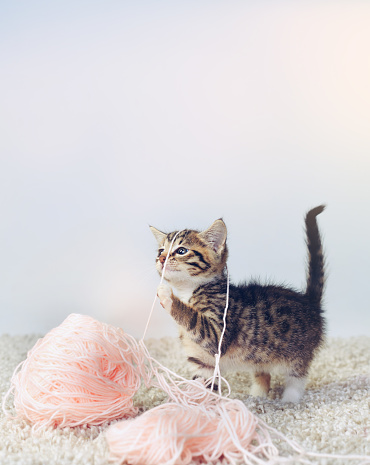 Kitten「What? I was trying to knit you a sweater」:スマホ壁紙(19)