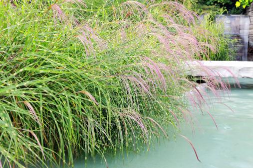 すすき「ゼブラ芝生の水の庭園」:スマホ壁紙(16)