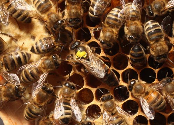 Honey「Beekeepers Report Higher Loss Rates In Bee Populations」:写真・画像(10)[壁紙.com]