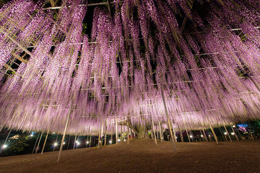Tochigi Prefecture「Beautiful wisteria blooming at night」:スマホ壁紙(9)