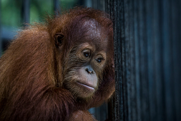 Animal Themes「Indonesia's Orangutans Battle With Deforestation」:写真・画像(10)[壁紙.com]