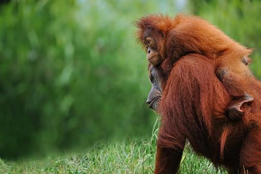 Rainforest「sumatran orangutans」:スマホ壁紙(3)