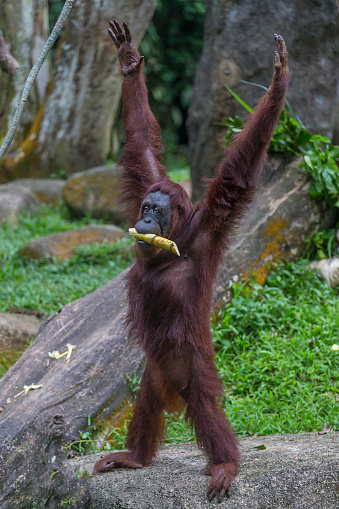 野生動物「Sumatran Orangutan」:スマホ壁紙(8)
