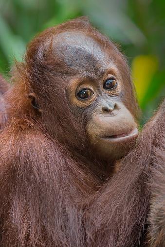 野生動物「Sumatran Orangutan」:スマホ壁紙(11)
