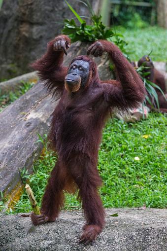 野生動物「Sumatran Orangutan」:スマホ壁紙(7)