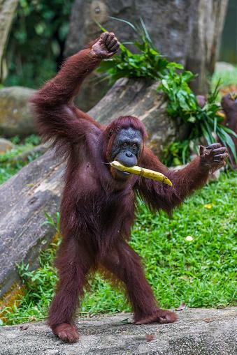 野生動物「Sumatran Orangutan」:スマホ壁紙(9)