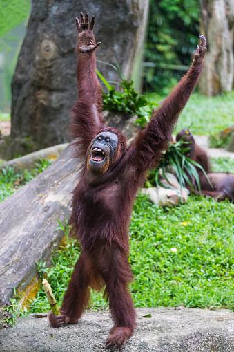 おしゃれ「Sumatran Orangutan」:スマホ壁紙(1)