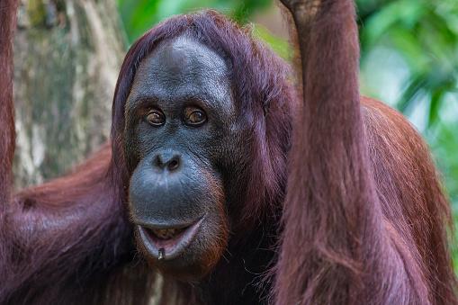 野生動物「Sumatran Orangutan」:スマホ壁紙(12)