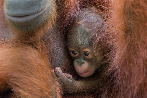 野生動物「Sumatran Orangutan baby with mother.」:スマホ壁紙(19)