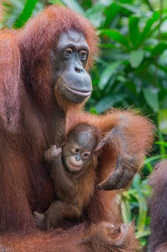 野生動物「Sumatran Orangutan baby with mother.」:スマホ壁紙(18)