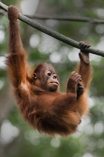 Branch「Sumatran Orangutan youngster」:スマホ壁紙(0)