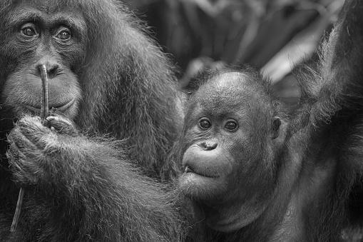 野生動物「Sumatran Orangutan youngster」:スマホ壁紙(2)