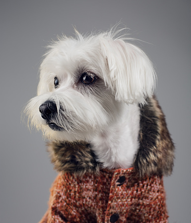 White Hair「Maltese bichon dog portrait」:スマホ壁紙(15)
