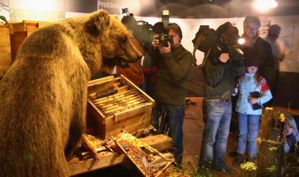 Brown Bear「Dead Brown Bear Bruno Exposed To Public」:写真・画像(13)[壁紙.com]